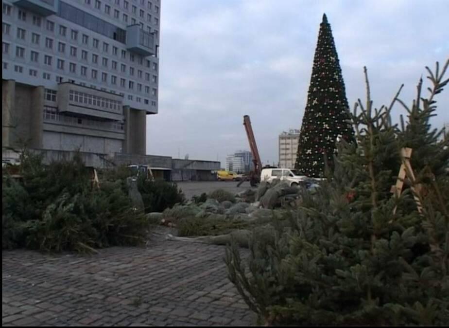 Новогоднюю ель в Калининграде можно купить от 250 руб- за метр - Новости Калининграда