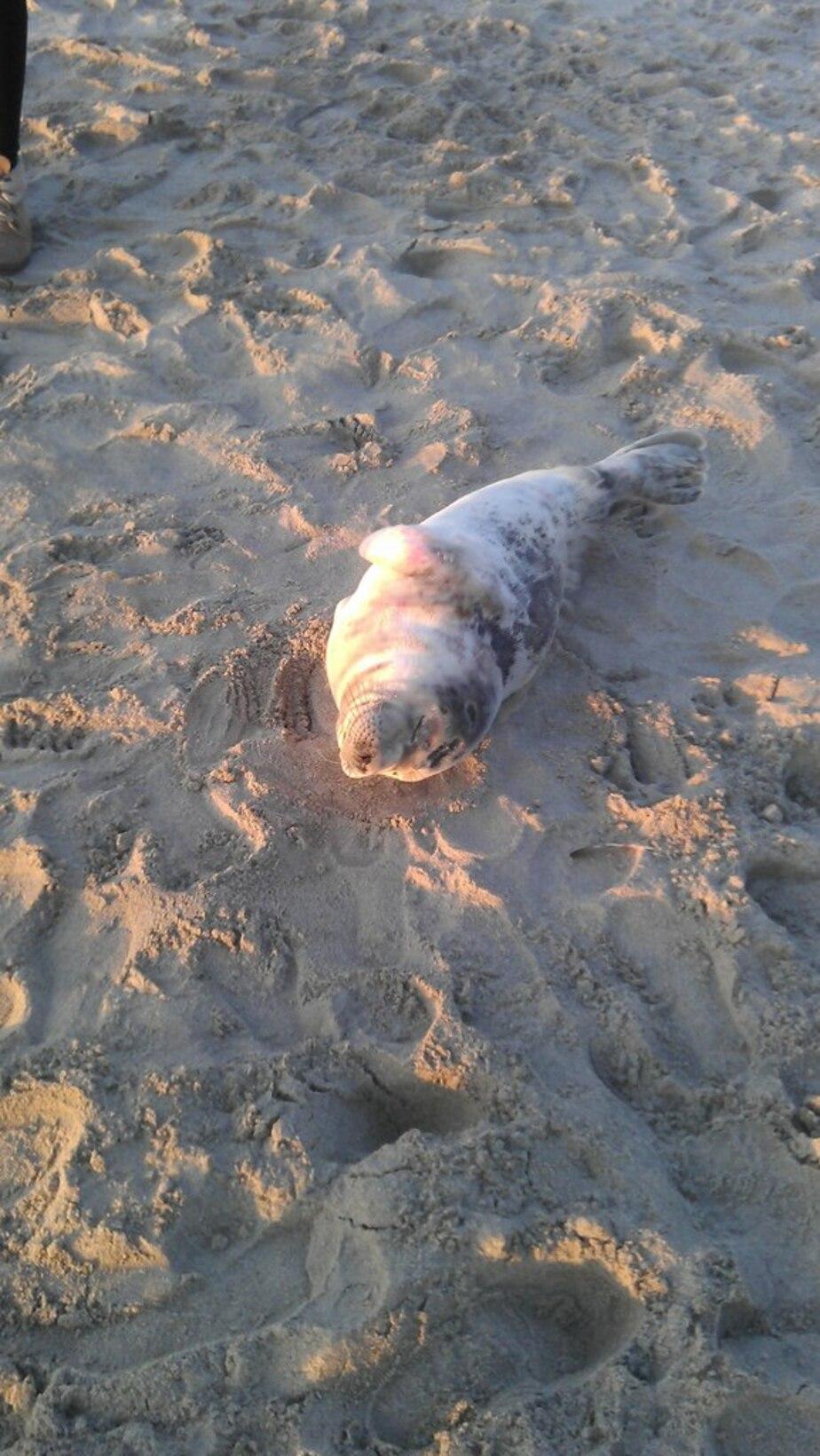 На побережье в Балтийске нашли детеныша серого тюленя - Новости Калининграда