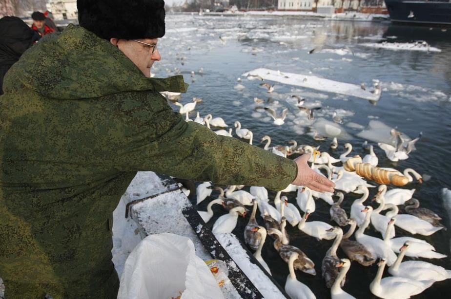 Лесное агентство купило для замерзающих лебедей 200 кг хлеба - Новости Калининграда
