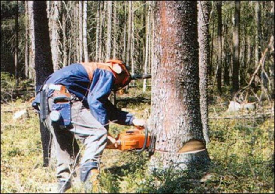 В Краснознаменске с лесоруба взыскали 86 тыс- за 10 сосен - Новости Калининграда
