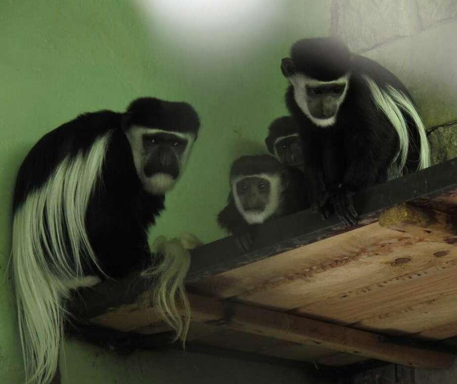 В калининградском зоопарке спасают новорожденного колобуса