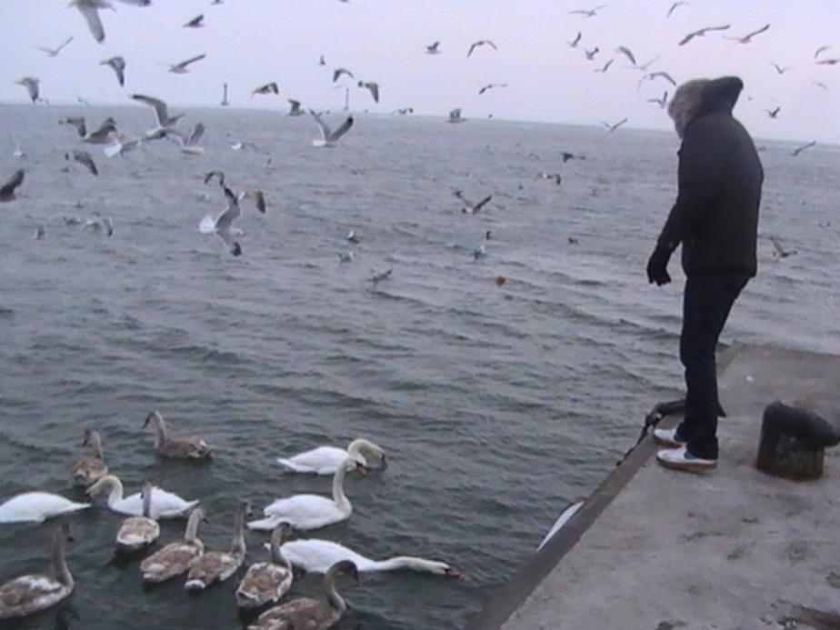 В Светлом из-за аномальных морозов погибли лебеди - Новости Калининграда