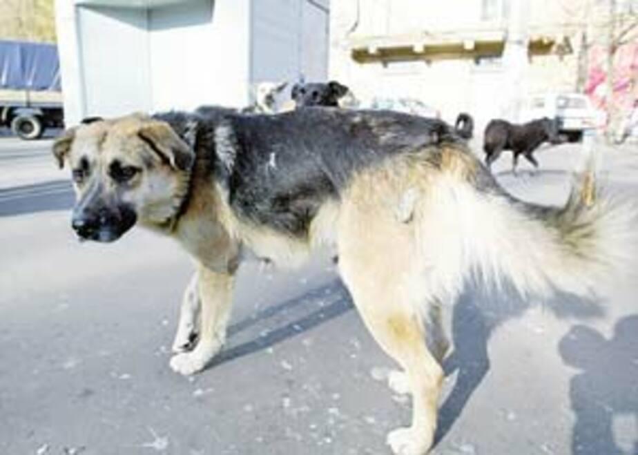 Бродячая собака напала на ребенка на территории школы в Зеленоградске - Новости Калининграда