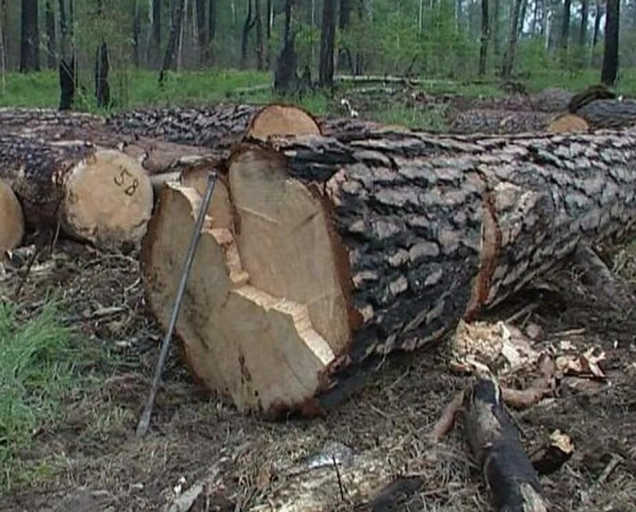 Жителя Приморска ждет штраф до 40 тыс- за два срубленных дерева - Новости Калининграда