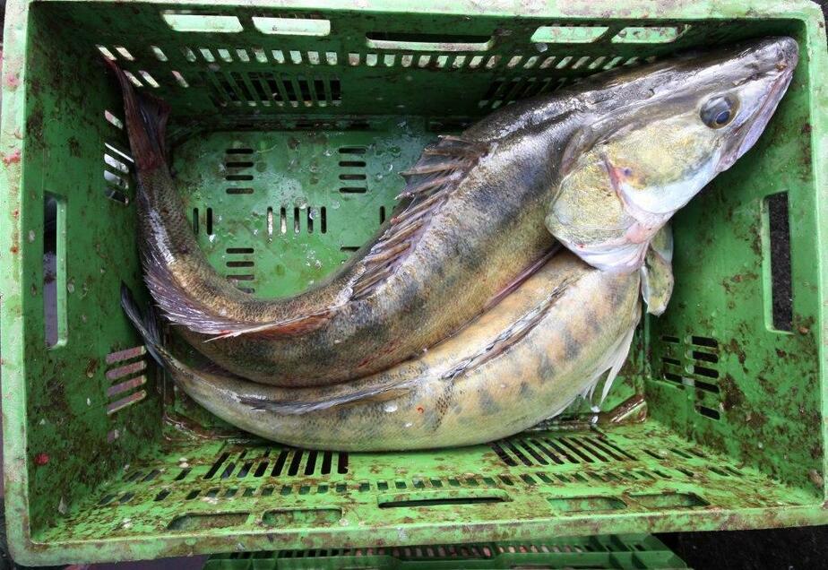 Ученые- Рыбы в Балтийском море станет меньше - Новости Калининграда