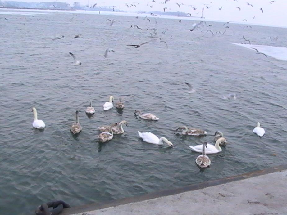 На Балтийской косе замерзают более сотни лебедей - Новости Калининграда