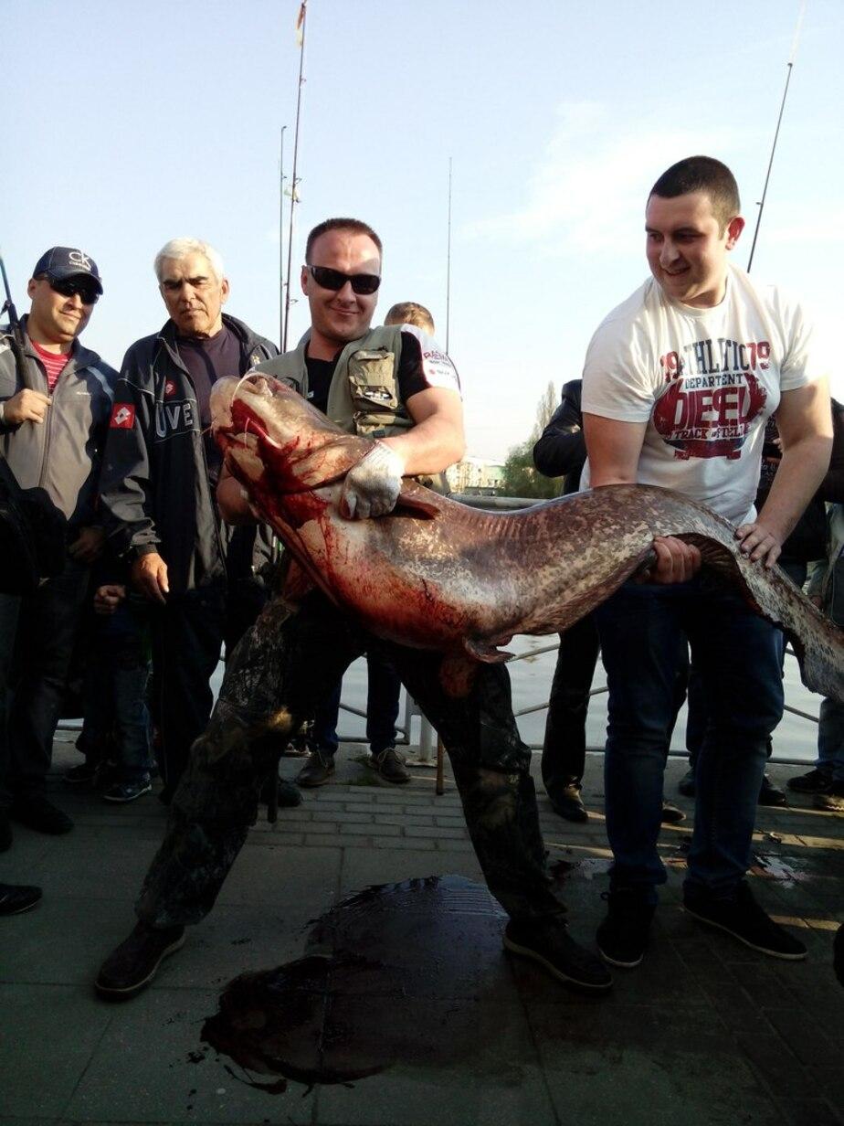 Калининградец выловил в Преголе почти двухметрового сома весом в 90 килограммов - Новости Калининграда