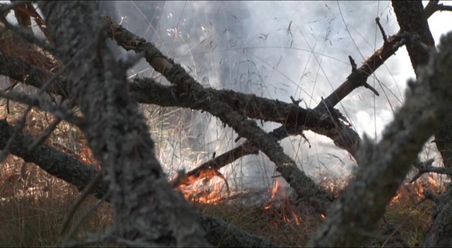 Экологи: для восстановления сгоревшего леса на Куршской косе потребуется 50 лет  - Новости Калининграда