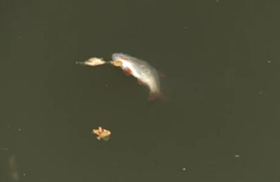 В Верхнем озере рыба погибает из-за моющих веществ - Новости Калининграда