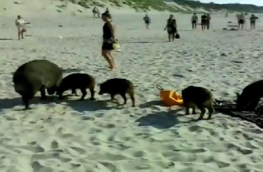 Семейство кабанов повадилось гулять по пляжу Куршской косы - Новости Калининграда