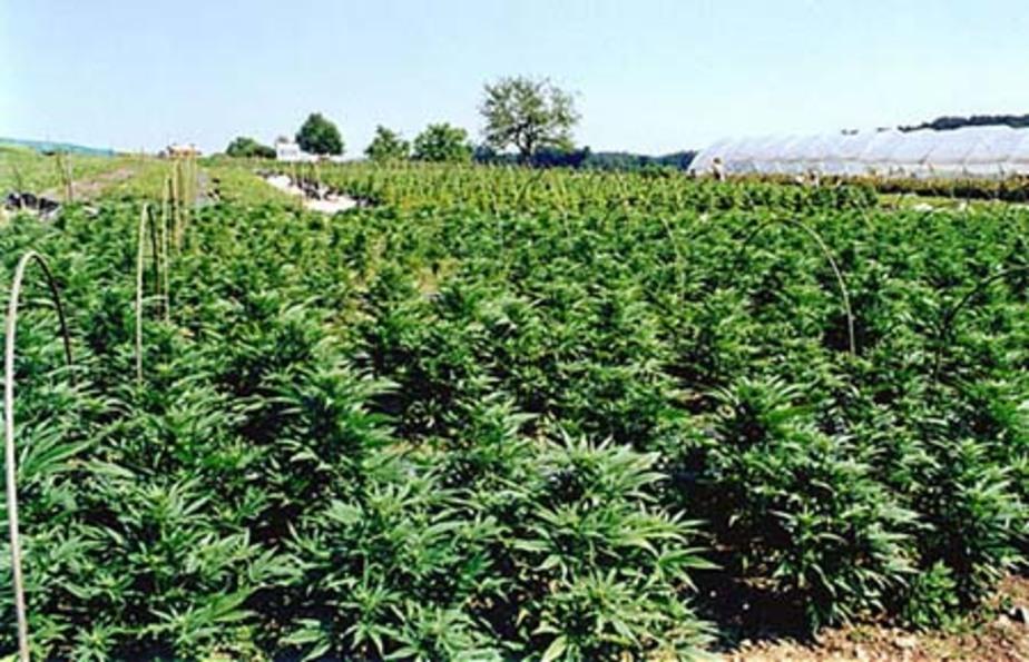 Поля марихуаны заплесневела конопля