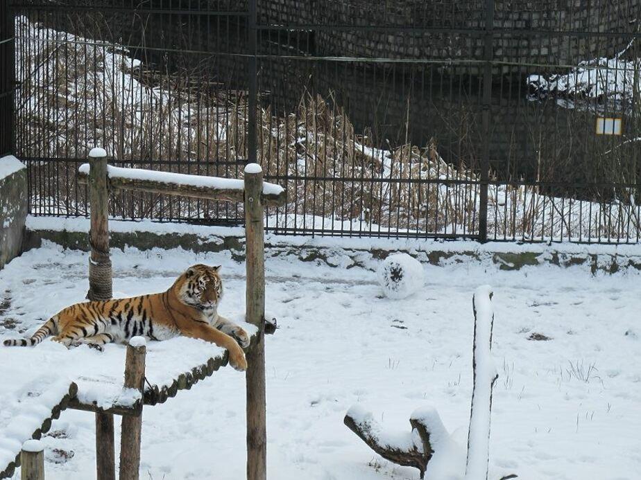 В Калининградском зоопарке тигрица Таня лепит снеговиков (видео) - Новости Калининграда