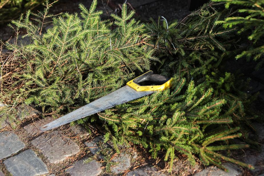 В Славском районе вырублены ели, которые лесничий посадил на память о себе