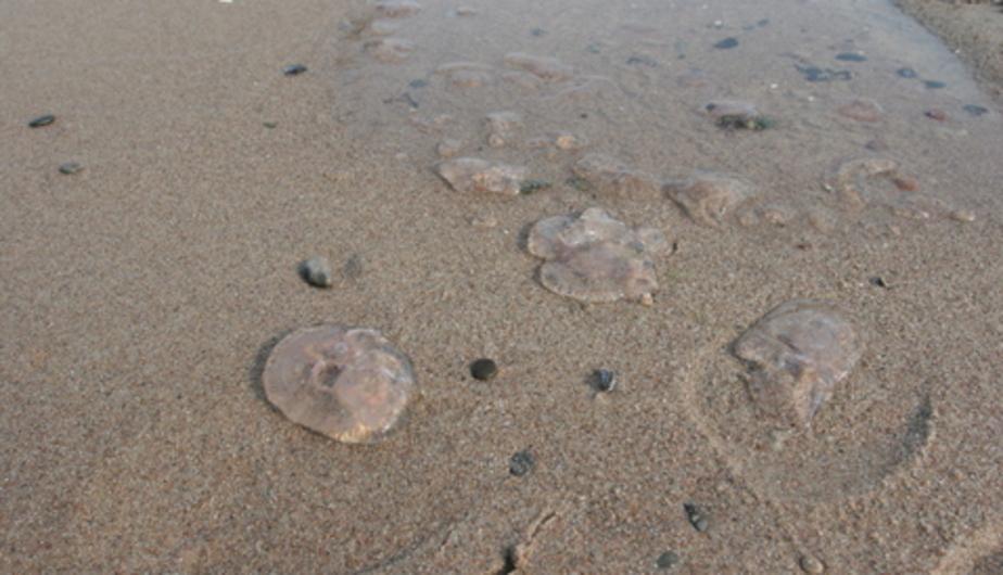 В Балтийском море медуза обожгла руку ребёнку - Новости Калининграда