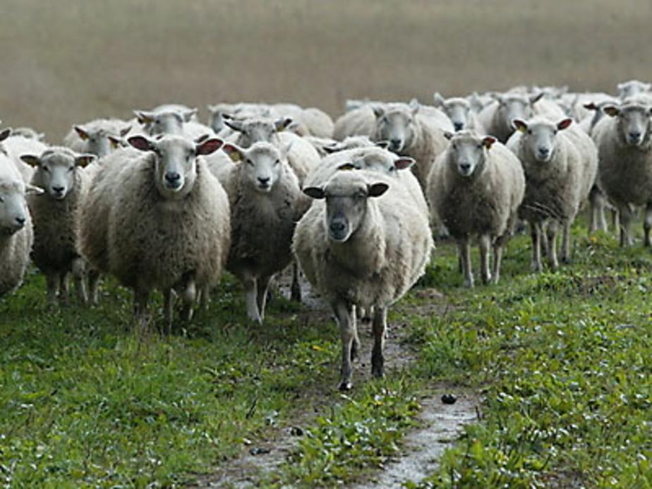 В Калининградской области волки загрызли отару овец - Новости Калининграда