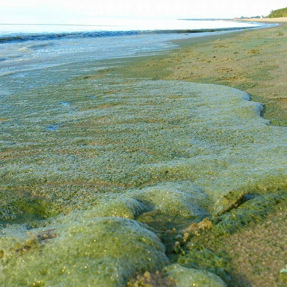В Балтийском море зацвели опасные сине-зеленые водоросли  - Новости Калининграда