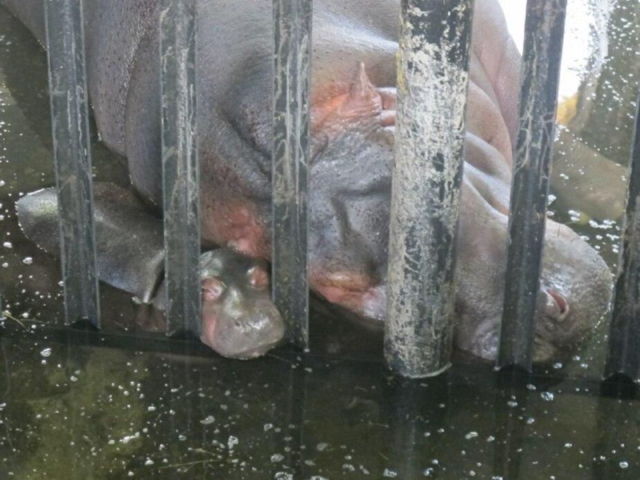 В зоопарке Калининграда родился бегемотик (видео)