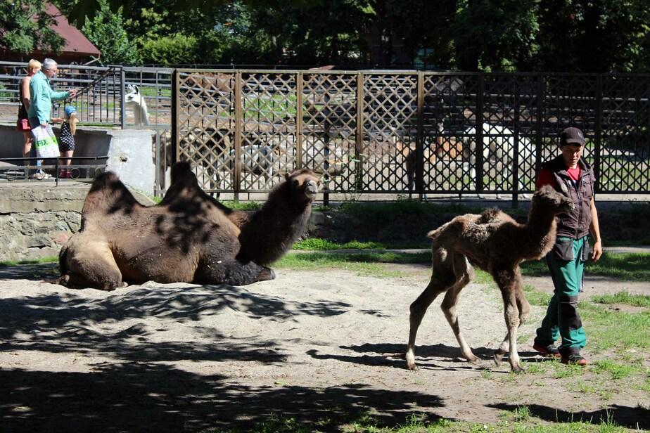 В Калининградском зоопарке родились два верблюжонка - Новости Калининграда