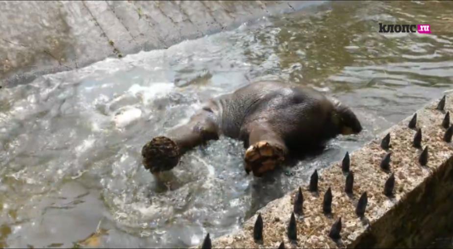 Калининградская слониха Преголя искупалась в импровизированном бассейне (видео) - Новости Калининграда