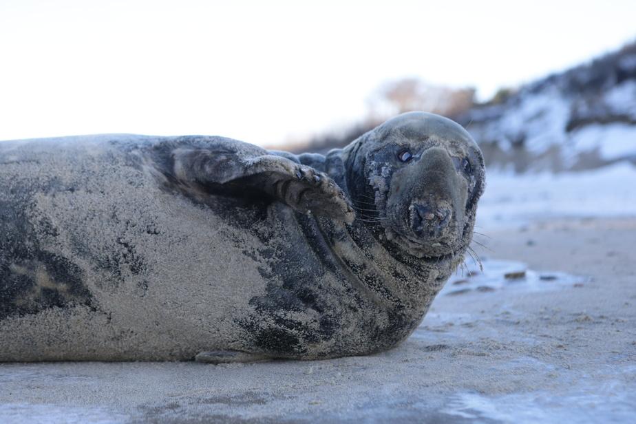 Зоолог рассказал, как вести себя при встрече с тюленем на побережье Балтики - Новости Калининграда