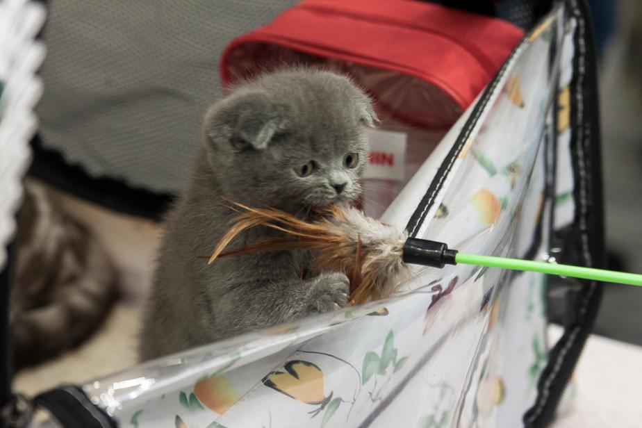 Кот в мешке: калининградцам под видом породистых животных продают больных полукровок  - Новости Калининграда