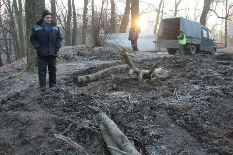 В Центральном парке по просьбе владельца кафе спилили пять вековых деревьев  - Новости Калининграда