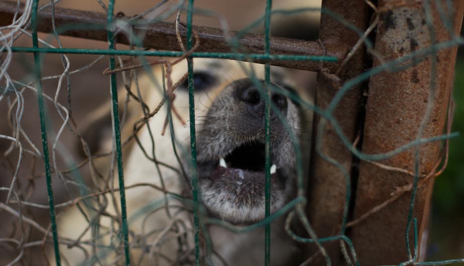 Калининградский депутат предложил продавать убитых собак корейцам - Новости Калининграда