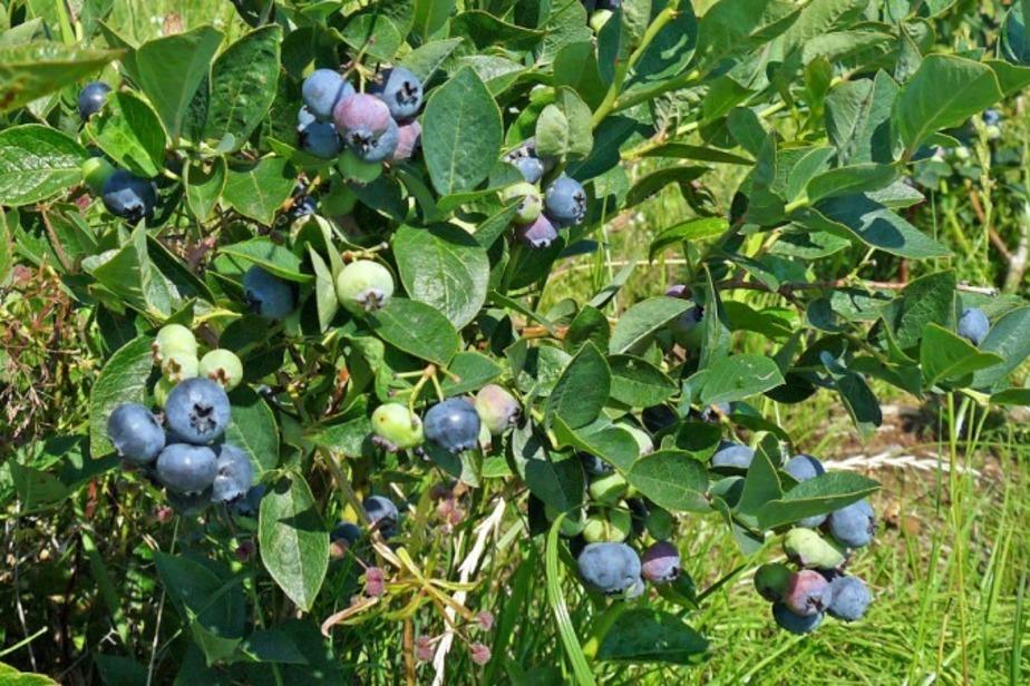 В Полесском районе собрали первый урожай голубики - Новости Калининграда
