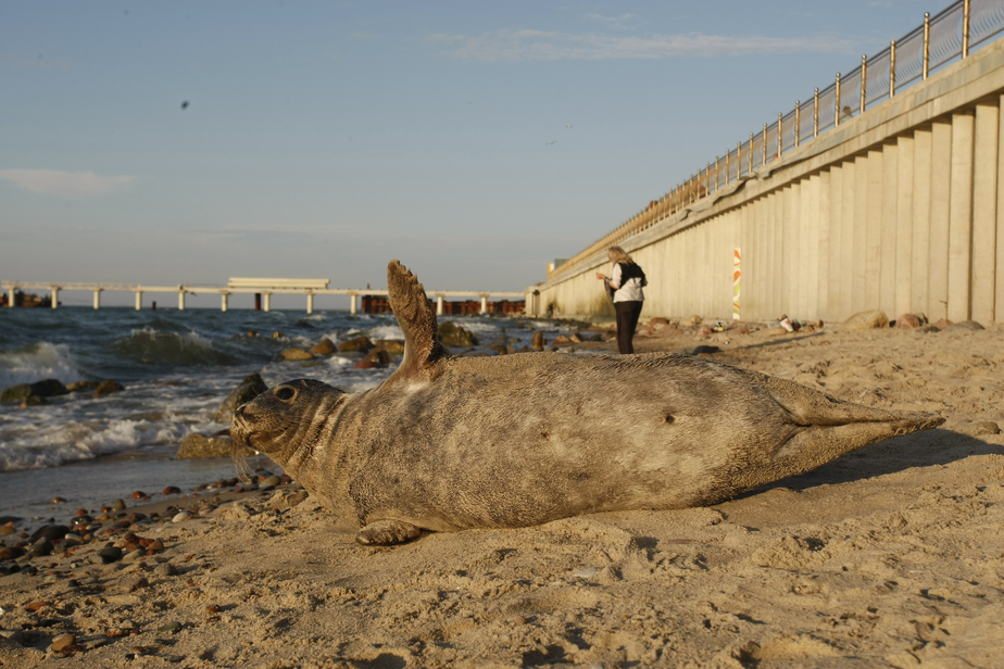 Польские ученые призывают сообщать о найденных тюленях на Морскую станцию   - Новости Калининграда