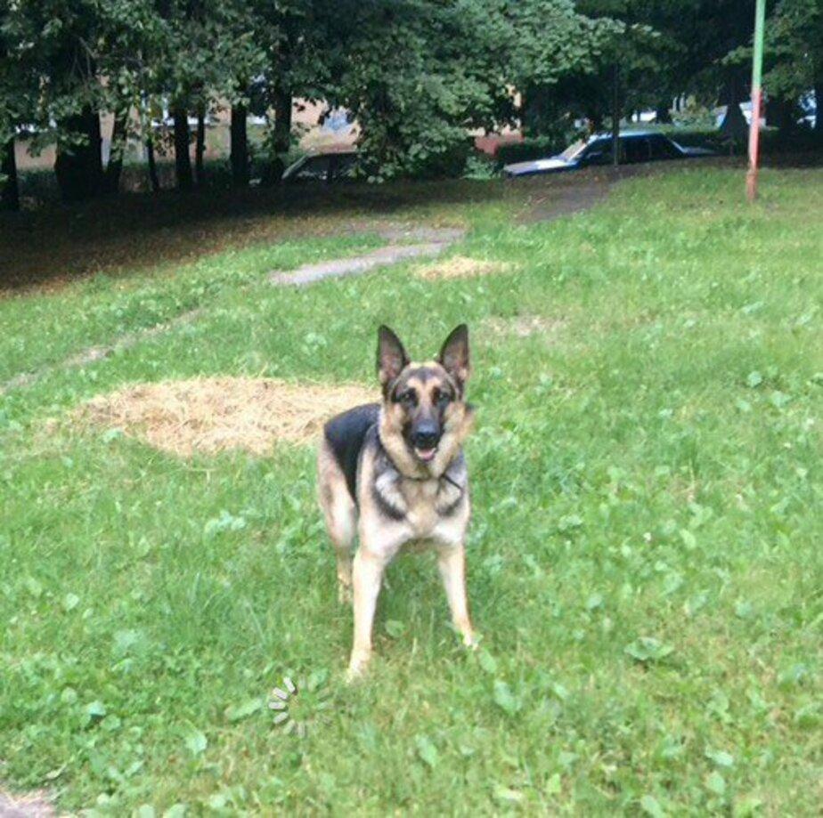 У калининградца украли собаку, гулявшую во дворе  - Новости Калининграда