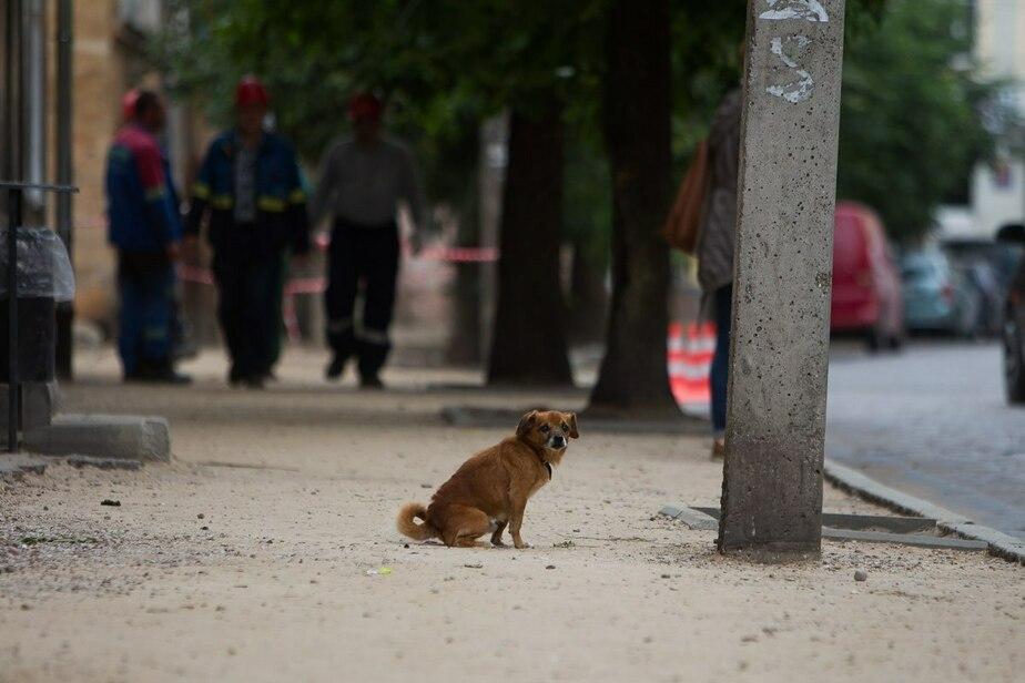 Вице-мэр предложил подвергать эвтаназии больше бродячих собак в Калининградской области - Новости Калининграда