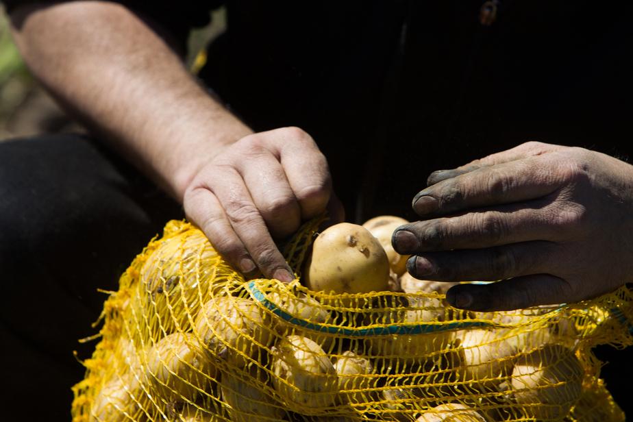 Московский агрохолдинг намерен выращивать в Калининградской области элитный семенной картофель