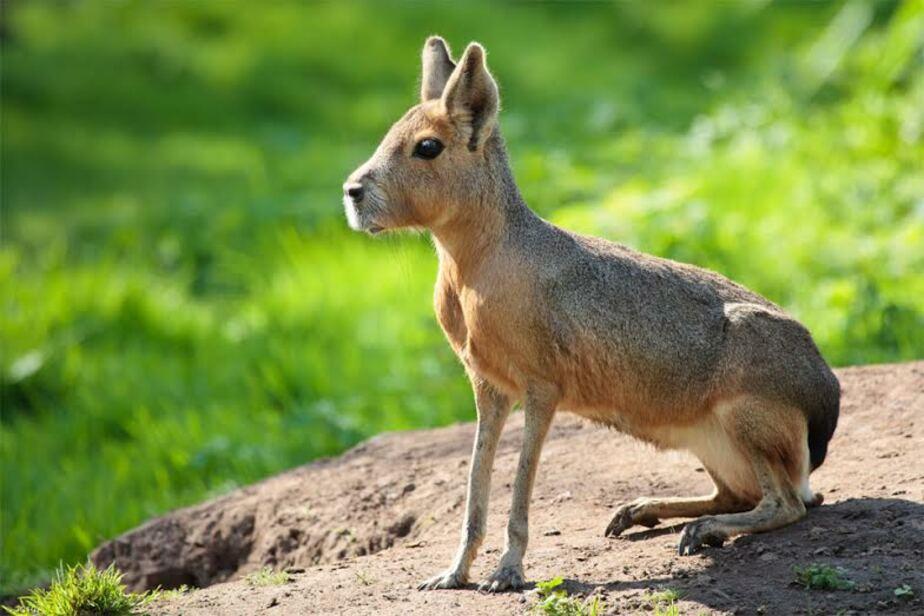 В зоопарке Калининграда появится патагонская мара  - Новости Калининграда