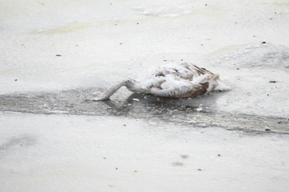 Предположительно, птичий грипп: в Калининграде выясняют причину гибели трёх лебедей - Новости Калининграда