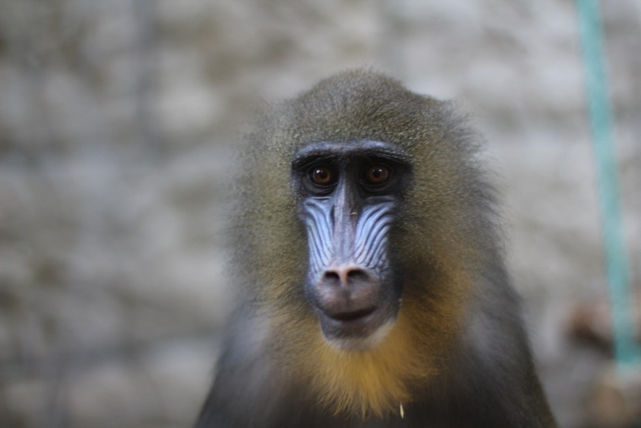 "Какая обезьяна Калининградского зоопарка самая ""обезьянистая"""