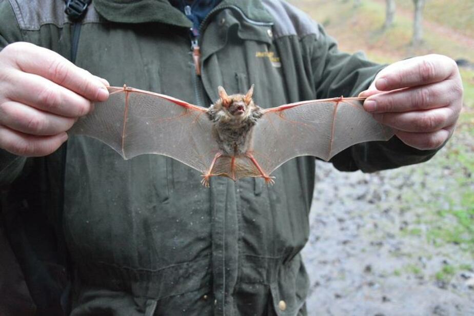 В Калининградском форту зоологи обнаружили редкую летучую мышь (фото) - Новости Калининграда