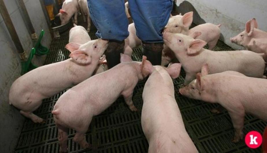В Польше 300-килограммовая свинья загрызла 85-летнюю пенсионерку - Новости Калининграда