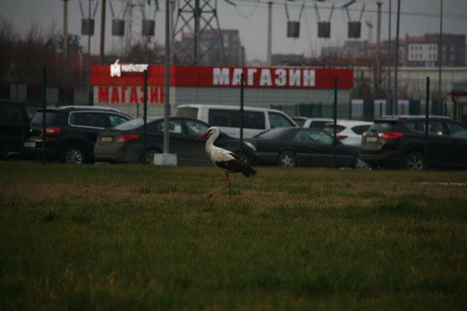 На территории агропромышленного холдинга в Гурьевском районе замерзает аист - Новости Калининграда