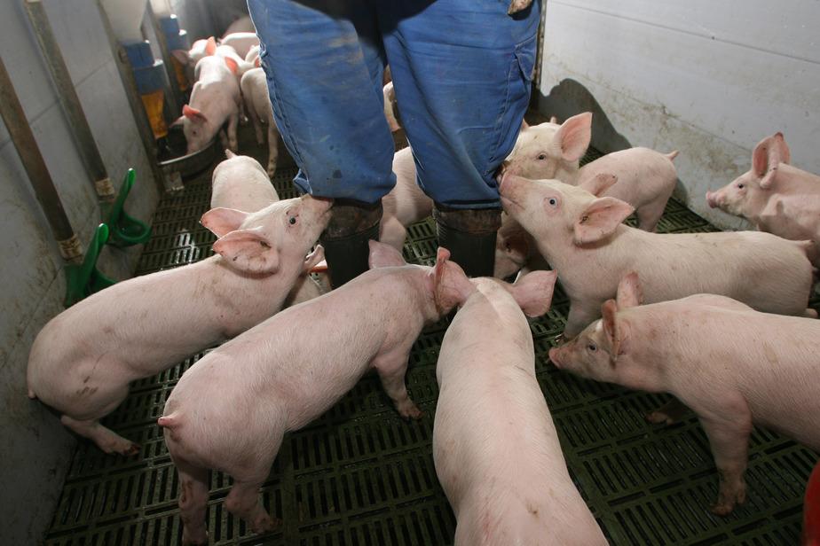 В Калининградской области в мясе из частного подворья нашли опасное заболевание - Новости Калининграда