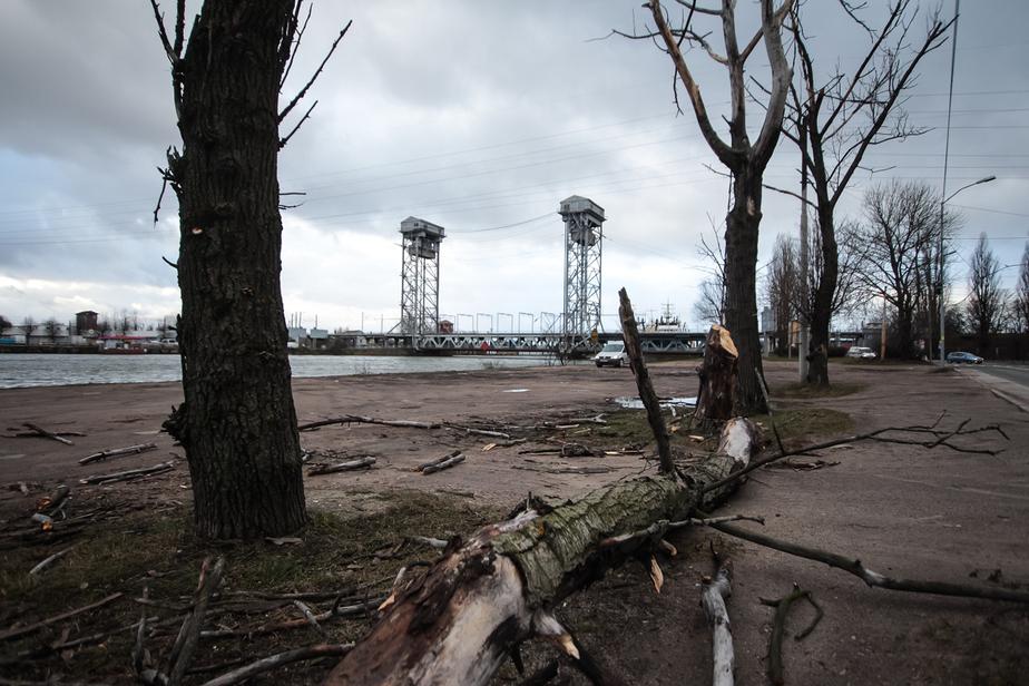 Вчера штормовой ветер повалил в Калининграде берёзу - Новости Калининграда