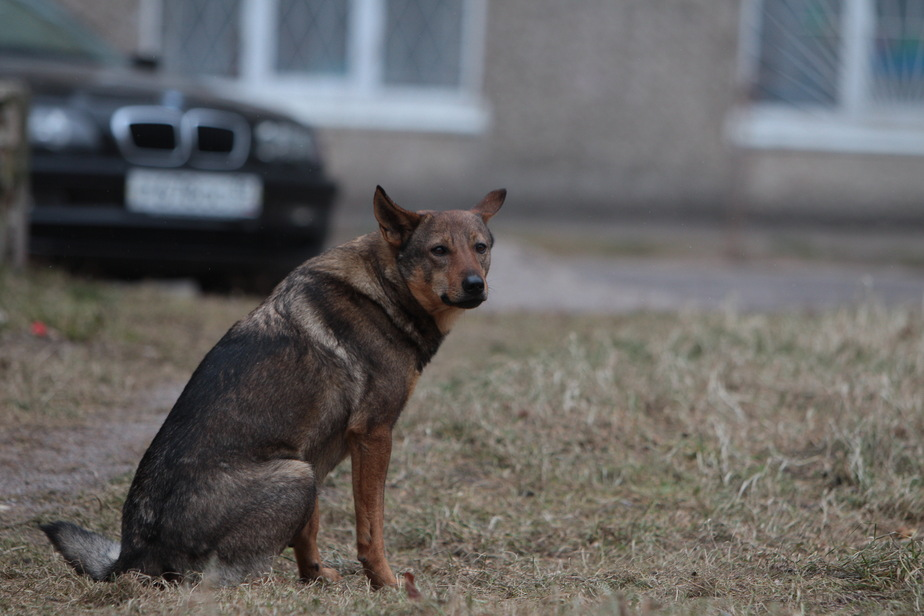 Догхантеры по-калининградски: собакам подбрасывают смертельную отраву, животные гибнут в мучениях - Новости Калининграда
