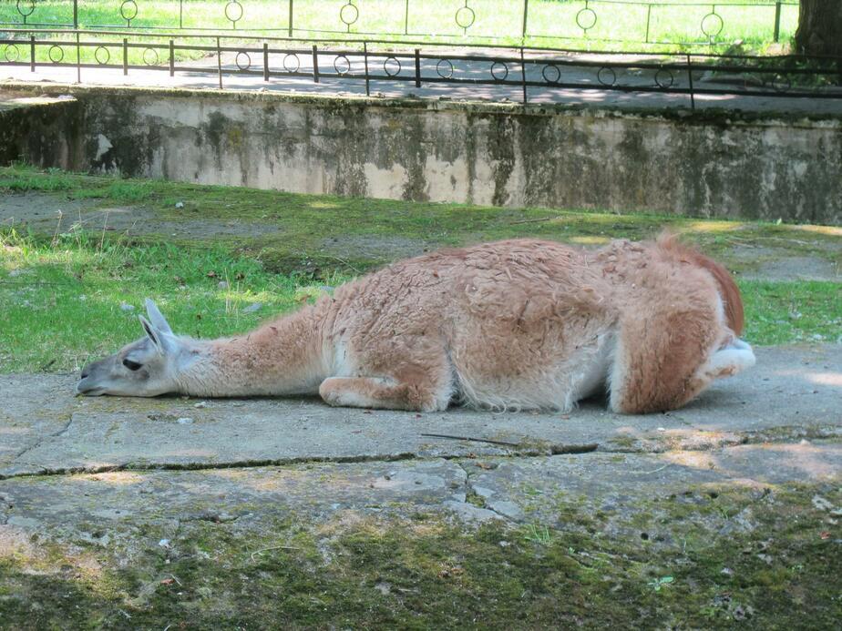 Купания и полуденный сон: как переносят жару звери в Калининградском зоопарке (фото) - Новости Калининграда