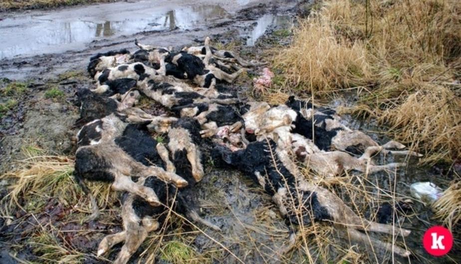 Полиция проводит проверку по факту обнаружения мёртвых телят в районе Большой окружной дороги - Новости Калининграда