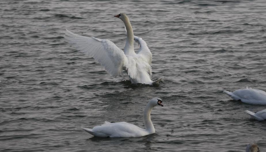 В Литве зафиксирован первый случай птичьего гриппа H5N8 - Новости Калининграда