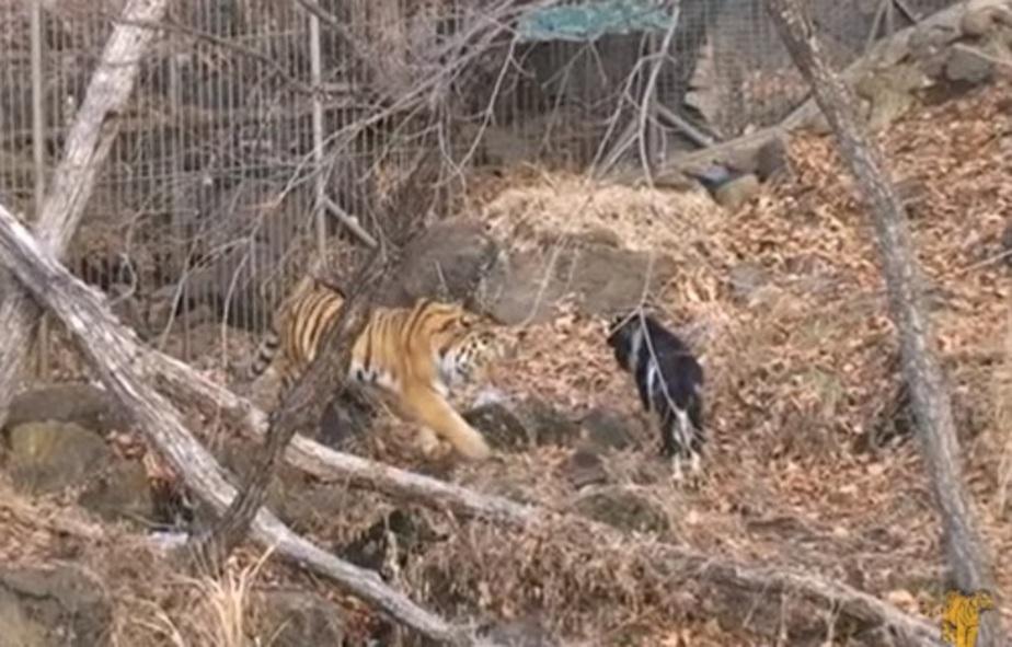 Южнокорейский режиссер снимет фильм о дружбе козла Тимура и тигра Амура - Новости Калининграда