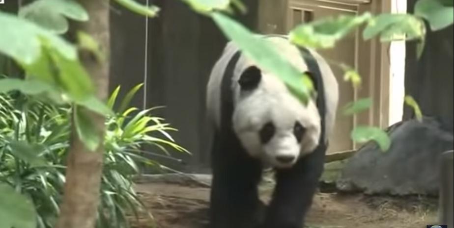 В зоопарке Гонконга умерла старейшая в мире панда - Новости Калининграда