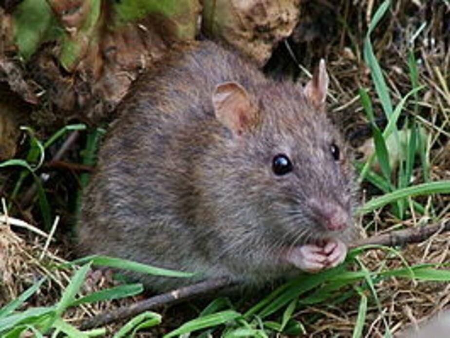 Российские ученые придумали, как использовать крыс в борьбе с терроризмом - Новости Калининграда
