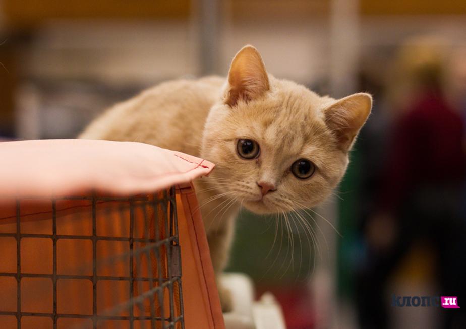 Житель Кирова сдаёт своих котов в аренду за 600 рублей в час  - Новости Калининграда
