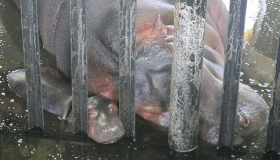 Бегемотик в калининградском зоопарке получил имя - Новости Калининграда