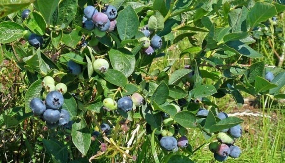Под Зеленоградском будут выращивать малину и голубику - Новости Калининграда